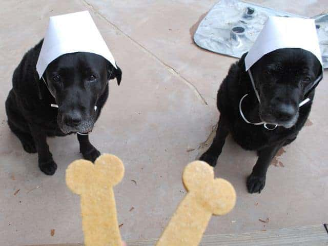 2 black labs wearing white hats
