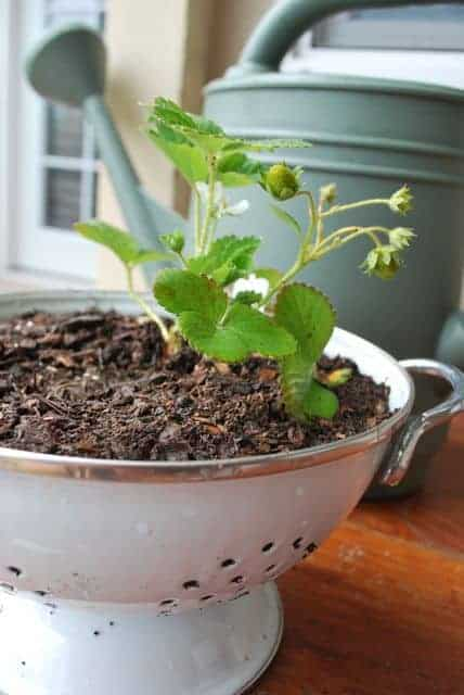 Plant Strawberries in a Colander