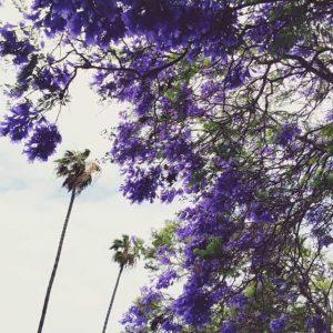 Jacaranda Trees. Southern California