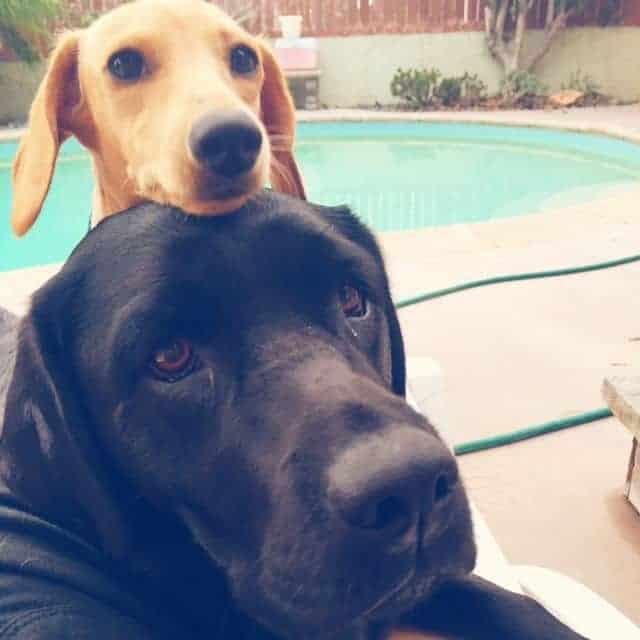 Dachshund and Labrador