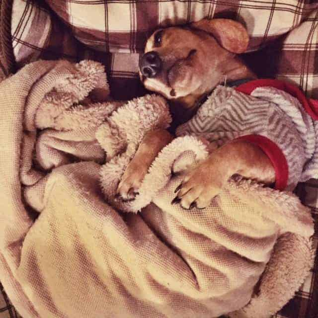 Cozy dachshund