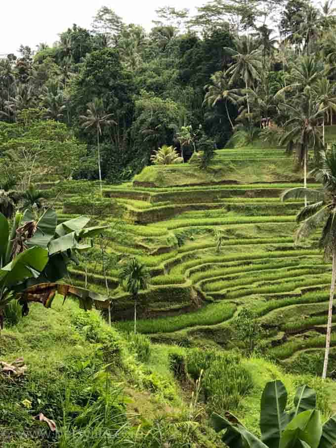 Rice Terrace. Bali Indonesia