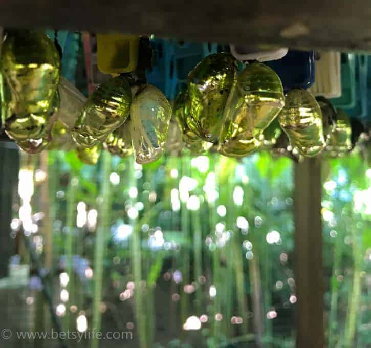 Butterfly Cocoons. Bali Indonesia