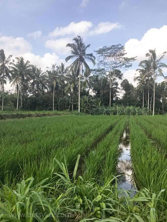 Rice Fields. Ubud, Bali Indonesia
