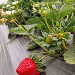 Touring Monterey with California Strawberries